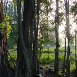 Banyon_Tree