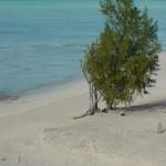 Beach_Tree