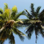 Coconut_Trees
