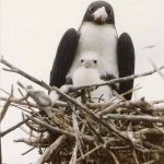 FrigateBird_and_Chick