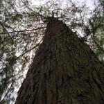 IronWood_Tree