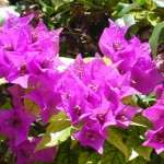 Purple_Flowers_2