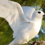 Tern_Wings