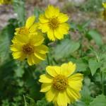 Verbesina_Flowers2